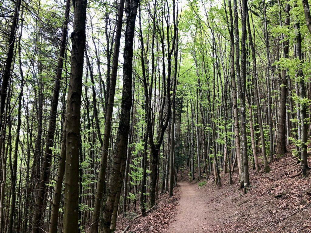 Dichter Wald kurz vor dem Kybfelsen